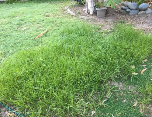 How to remove nutgrass